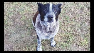 Deaf And Blind Old Dog Stays By Missing 3-year-old's Side And Helps Bring Her Home
