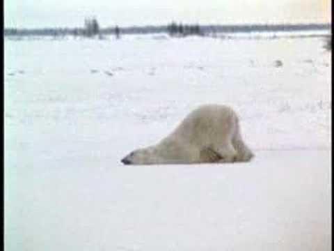 原來TAKARA TOMY 睡覺的動物園 之 睡覺北極熊是這樣來的?!誤~~