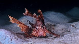 Lionfish Hunting   Earth Unplugged