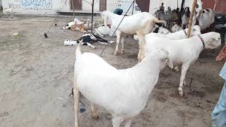 goats for sale in lahore olx - 免费在线视频最佳电影电视节目