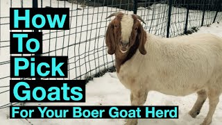 What To Look For When Selecting Boer Goats.