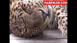 Bakıcısı Vahşi Leoparı Evcil Hayvan Gibi Seviyor haberi   TIKLA İZLE