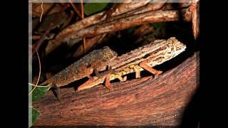 preview picture of video 'Rhampholeon / Rieppeleon Arten aus Tanzania'
