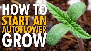 How to Start an Autoflower Grow Beginners Guide