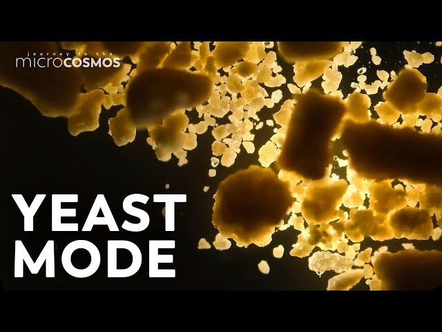 Video pronuncia di saccharomyces cerevisiae in Inglese