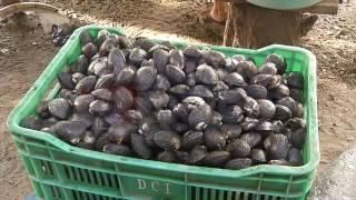 Cultivo de curil y casco de burro.