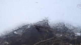 Бобер на реке Хотча