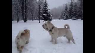 Белые шарпеи в белом парке