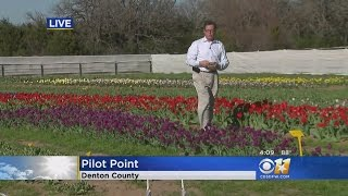 Tulip Farm Flourishes In Pilot Point