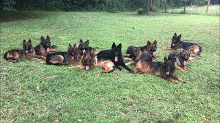 Living with 20 German Shepherds