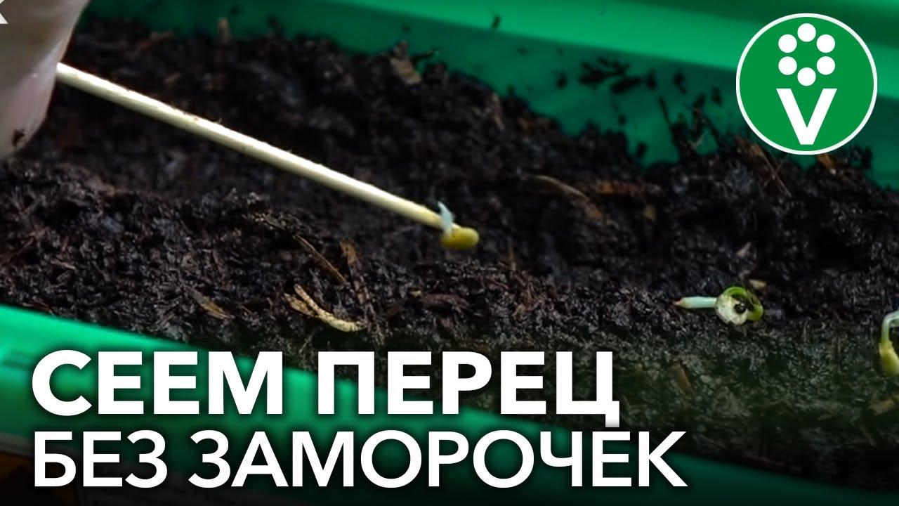 СЕЕМ ПЕРЕЦ НА РАССАДУ В 2021 ГОДУ: сроки посева, подготовка семян, распространенные ошибки