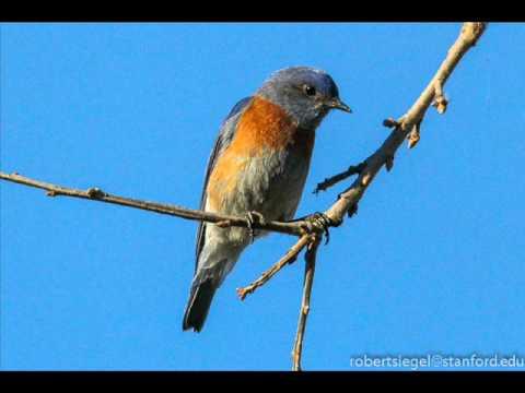 Música Bluebird Blues