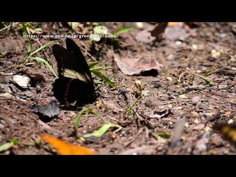 キオビミツオアゲハの飛翔 Papilio menatius