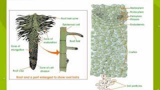 Plants - Root Pressure