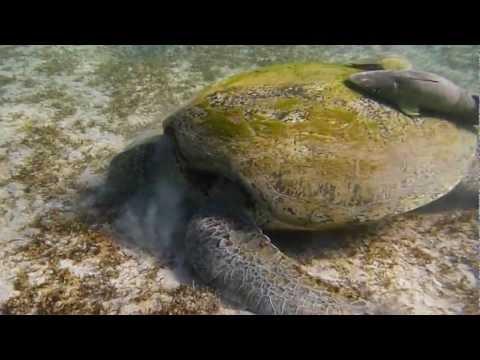 Schildkröte, Marsa Imbarak,Ägypten