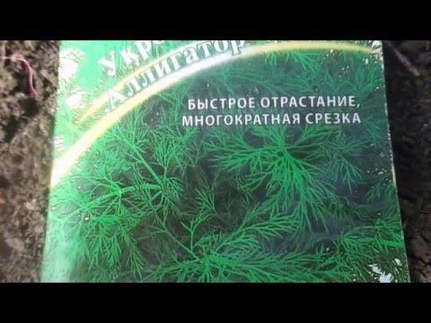 Сеем укроп  Мои секреты выращивания укропа  Свежая зелень с мая по октябрь