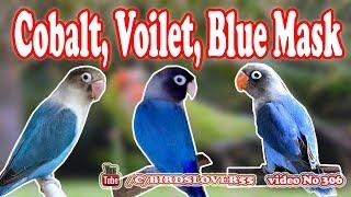Cobalt masked lovebird