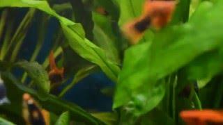 Аквариум. Чёрные меченосцы с красным плавником