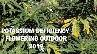 Potassium Deficiency First Weeks of Flower Outdoor Grow 2019