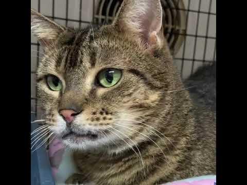 Caitlin, an adoptable Tabby in Huntington, NY_image-1