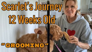 Training a Goldendoodle puppy for Grooming