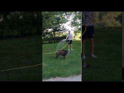 Schwein jagt Mann