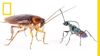 How Cockroaches Use Karate Kicks to Avoid Becoming Zombies   National Geographic