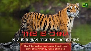 In a Siberian Tiger's Footsteps. How Siberian tiger was saved from extinction by Russia and China