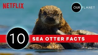 10 Facts That Prove Sea Otters Are The Coolest | Our Planet | Netflix