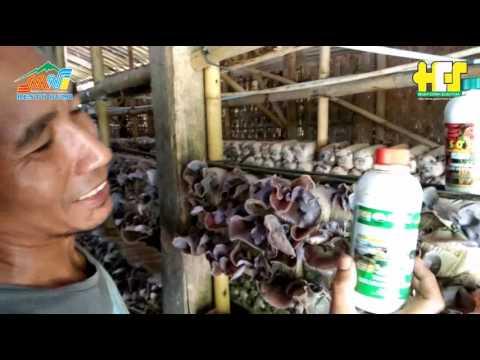 Video Cara Budidaya Jamur Kuping Yang Menguntungkan