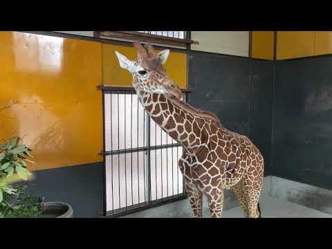 【池田動物園公式】キリンのサンタロウくんの様子。