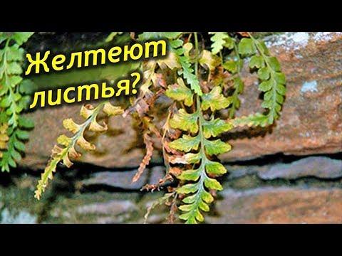 Папоротник пропадает! Сохнут и желтеют листья, что делать, как спасти растение?