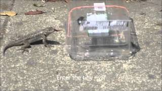 Baited lizard trap - FAIL