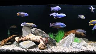 A Quick Lighting Tip For Your Cichlid Tank