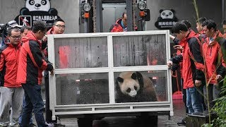 Two Giant Pandas Head To Russia For 15 Year Research Project