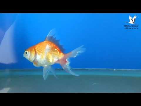 โรคครีบและหางเปื่อย ในปลาทอง คลินิคปลาสวยงาม