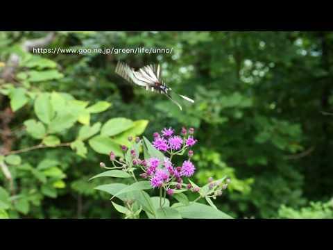 トラフタイマイの飛翔 Protographium marcellus