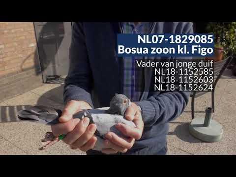 Video Presentatie van de Hok accomodatie en enkele duiven van Marcel Buijsse (Oostburg,NL)