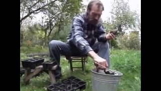 Вырастить кедр, уроки садовода