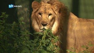 Vier leeuwen van Stichting Leeuw op weg naar Zuid-Afrika