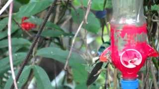 preview picture of video 'Marvelous Spatuletail, EcoAn Huembo Reserve, Peru'