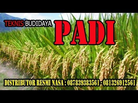 Video 081326912561 Cara Budidaya Padi | Cara Pemupukan Padi