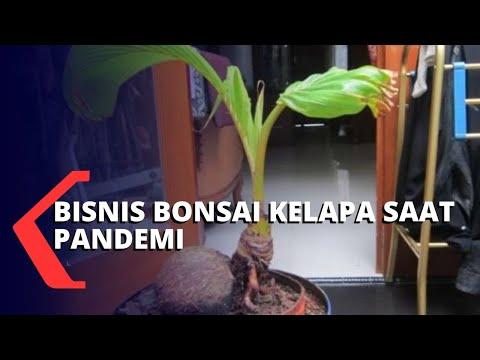mengintip bisnis bonsai kelapa yang tren saat pandemi