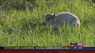 White Buffalo Born In Forest County