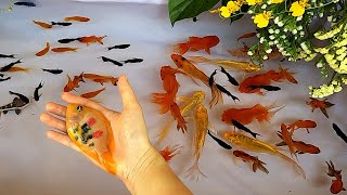 Redtail Catfish Goldfish Parrot Fish Molly Halfmoon Betta Fish Carp Carps Cute baby animals Videos