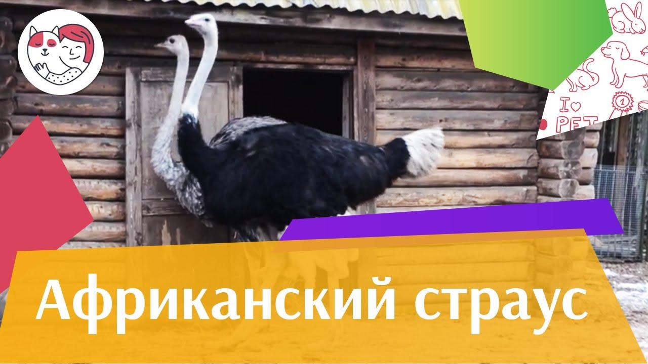 Африканский страус Семейные отношения на ilikepet