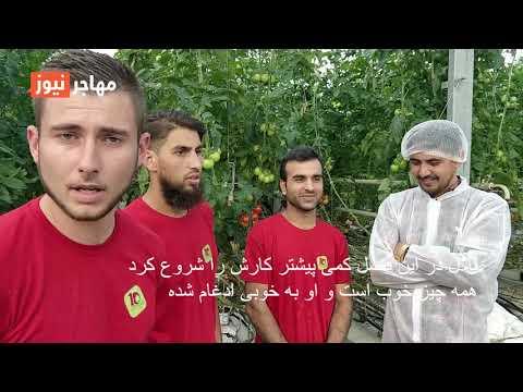 کارگران افغان در یک فارم بادنجان رومی در جنوب غرب فرانسه. گزارش ویدئویی از: واسع محسن/ مهاجر نیوز
