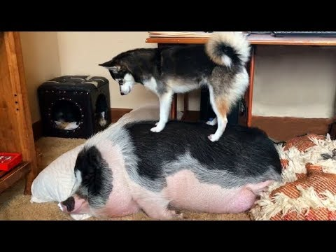 This Excited Dog Really Wants the Pig to Wake Up