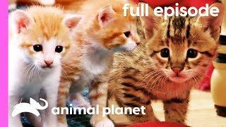 Domestic Shorthair, Savannah, and Siberian Kittens! | Too Cute! (Full Episode)