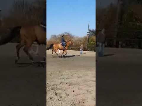 Beau cheval hongre